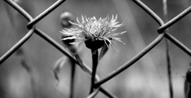 Black and white image of a flower growing through a fence.
