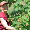 Ven. Semkye tending to a berry bush.