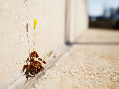 A yellow flower growing out of a crack in concrete.