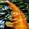 Koi fish swimming.