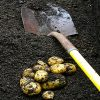 A spade and some potatoes being digged out of the soil.
