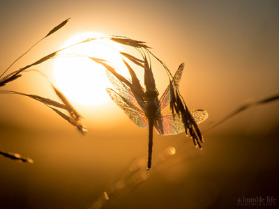 A dragonfly resting on a straw of weed, glowing in the sun.