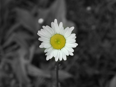 A single daisy in color against a black and white background.