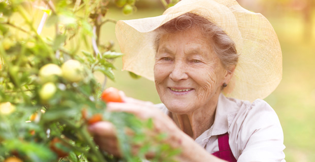 Elderly woman picking tomatoes from garden.